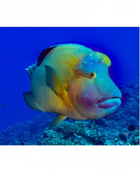 It's Humphead Wrasse Day