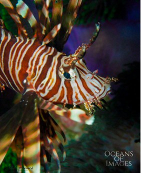 I Am Not Lionfish