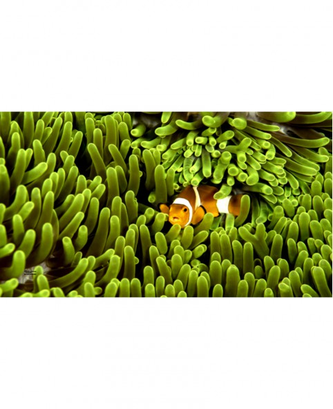 The Anemone is Greener on the Other Side